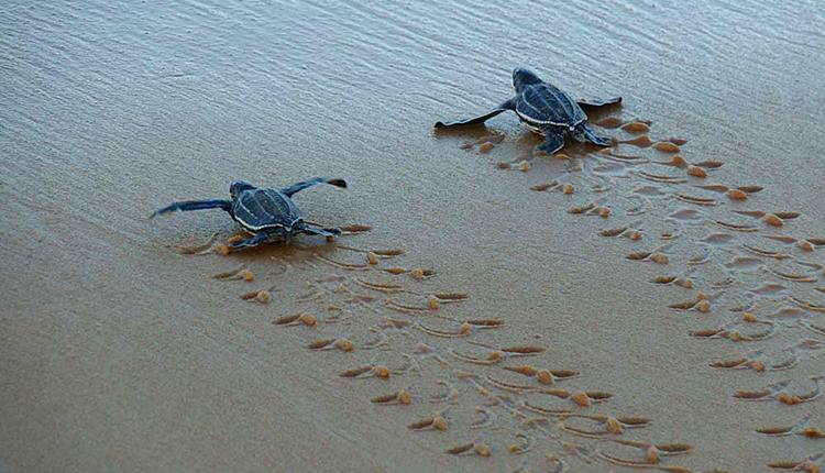 Jeunes tortues luth Dermochelys coriacea © Audrey Savouré-Soubelet