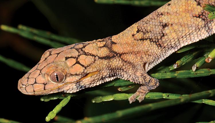 Gecko-caméléon à grandes écailles Eurydactylodes symmetricus, endèmique de Nouvelle-Calédonie © D. Massemin