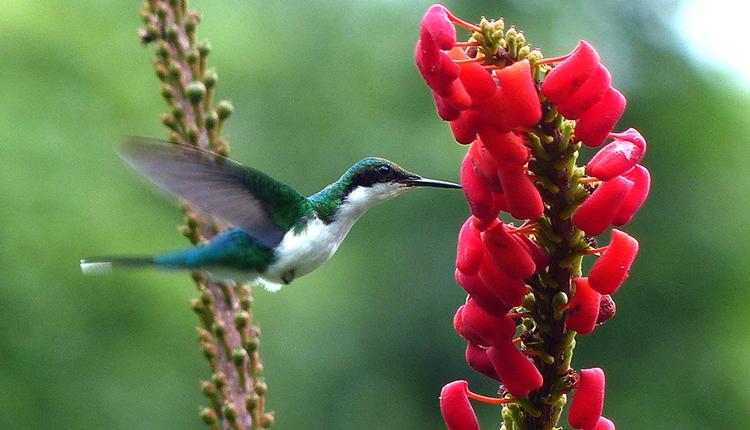 Colibri oreillard, Heliothryx auritus © Sylvain Uriot