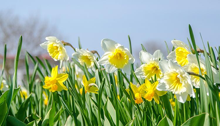 Narcissus pseudonarcissus Jonquille des bois © CCO