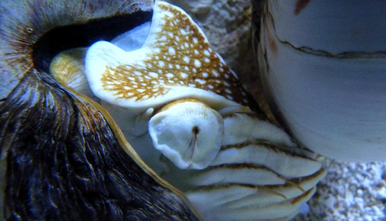 Nautilus macromphalus © B. Guichard