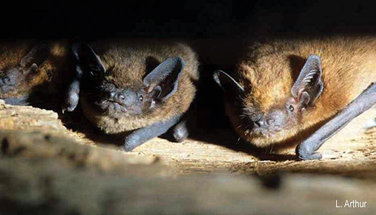 Pipistrelle commune Pipistrellus pipistrellus © L. Arthur