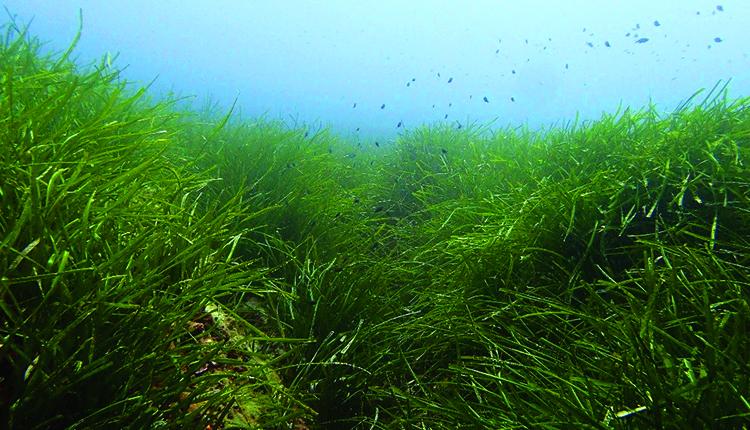 Herbier de Posidonies, Sud de La Giraglia, Cap Corse © T. de Bettignies