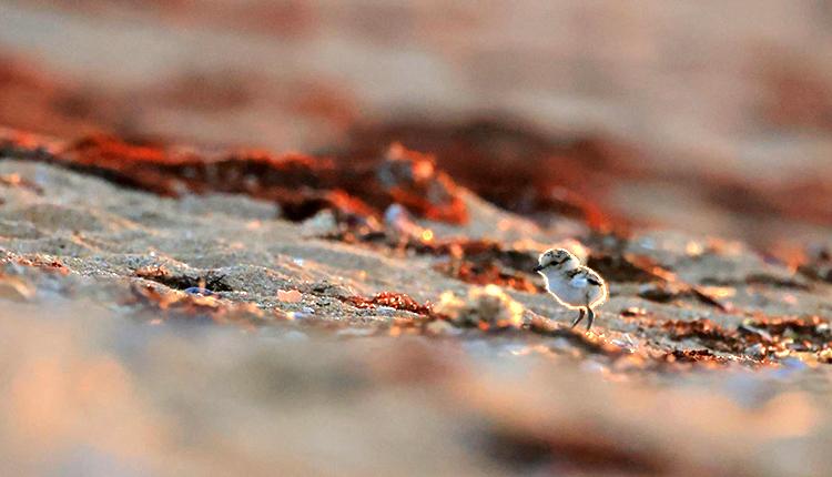 Poussin de gravelot à collier interrompu © Sophie Poncet / OFB