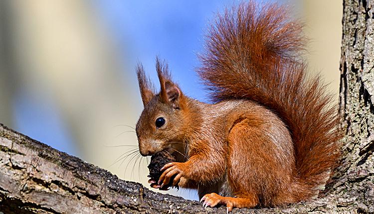 Écureuil roux, Sciurus vulgaris © Patrice Cassier