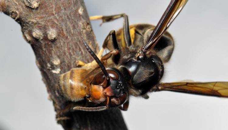 Vespa velutina dépeçant une abeille © Quentin Rome / MNHN