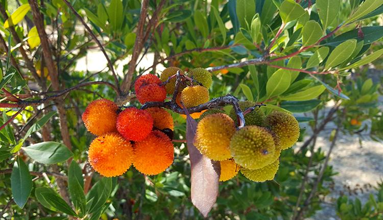 Arbousier ou arbre aux fraises Arbutus unedo © Louis Lainé