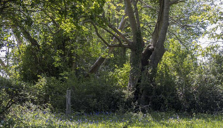 Arbre têtard dans la réserve naturelle régionale du bocage des Antonins dans les Deux-Sèvres © Philippe Massit / OFB
