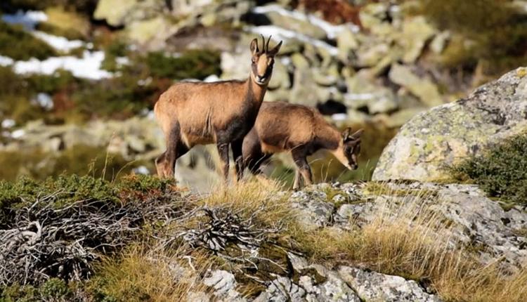 Isards dans la Réserve de faune sauvage d'Orlu © Gedeon programmes / MNHN