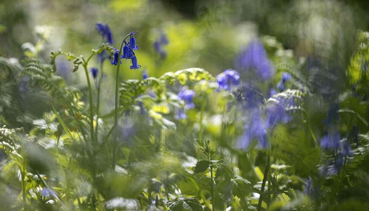 Jacinthe des bois ou Jacinthe sauvage (Hyacinthoides non-scripta) © Philippe Massit / OFB