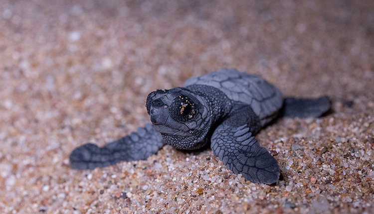 Jeune tortue Caouanne © S. Jamme / Association Marineland DR